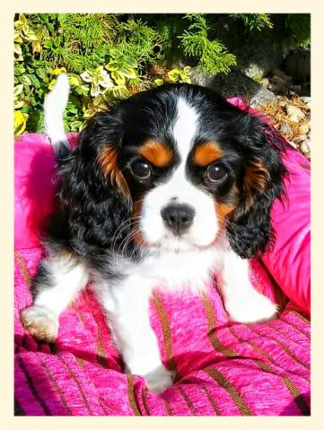 Beauty štěně 7.měsíc